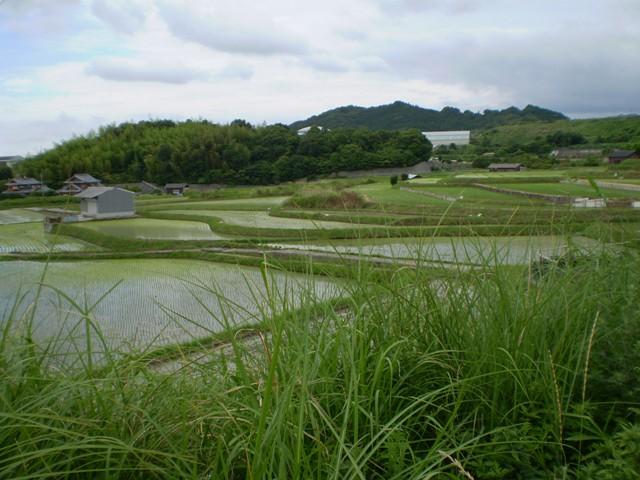 風景-田園風景: 熊取町和田の水田