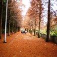 紅葉するメタセコイアの並木