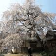 地福寺の枝垂桜