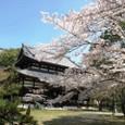 根来寺本堂前の桜