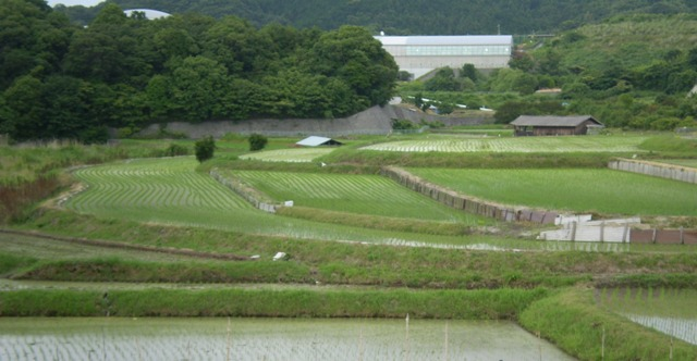 熊取町の水田: 白秋期