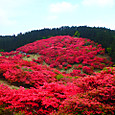 葛城山の躑躅